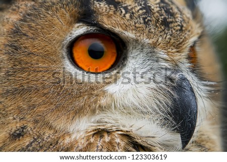 A close up of a head of eurasian Eagle Owl (Bubo Bubo)