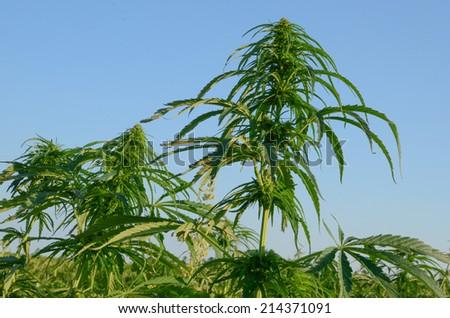 A close up of a hemp field - stock photo