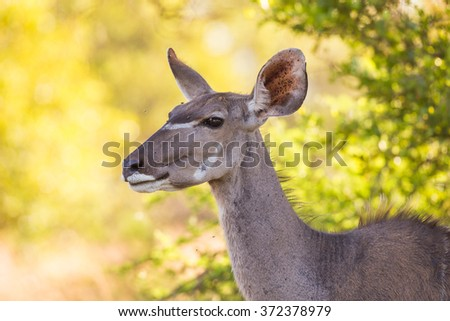 A close-up of a Kudu cow - stock photo