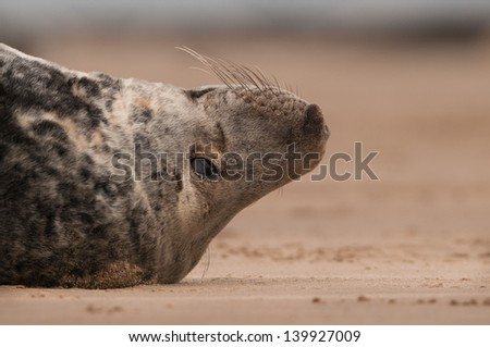 A close up of a large grey seal bull lying on his back.