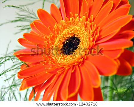 A close-up of a large orange gerbera (focus is on the left part - the way we are looking at it - of the stamens)