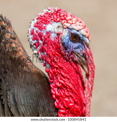 A close-up of a large turkey (Holland) - stock photo