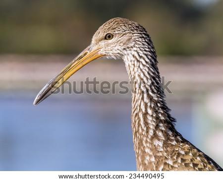 A close up of a Limpkin Bird. - stock photo