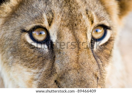 A close up of a lion cub's eyes - stock photo