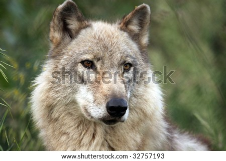 A close-up of a lone timber wolf (canis lupus). - stock photo