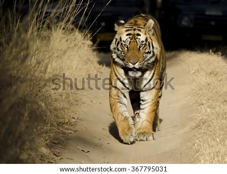 A close up of a Male Bengal Tiger Scientific name- Panthera Tigris - stock photo