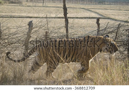 A close up of a Male Bengal Tiger walking through tall grass.Image captured during a safari at Bandhavgarh National park in Madhya Pradesh,India  Scientific name- Panthera Tigris - stock photo