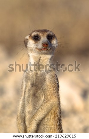 A close up of a Meerkat stood upright on lookout duty, looking at the camera, against a blurred natural background, Kalahari Desert, South Africa - stock photo