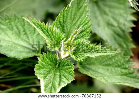 A close up of a nettle leaf - stock photo