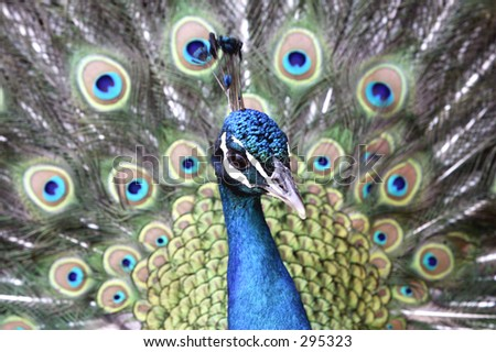 a Close up of a peacock head, with his full plumage behind him - stock photo