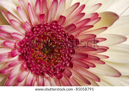 A close up of a pink and cream gerbera daisy - stock photo