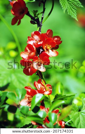 A close-up of a pinky red quince flower.  - stock photo