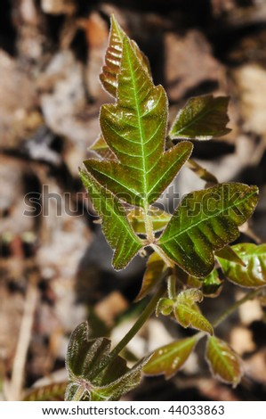 A close up of a poison ivy leaf - stock photo