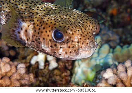 A close up of a porcupine puffer fish - stock photo