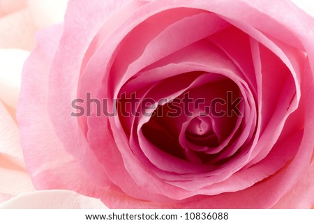 A close up of a pretty pink rose with peach colored rose petals lying nearby. - stock photo
