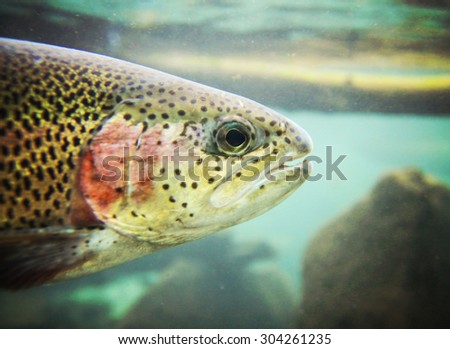 a close up of a rainbow trout swimming at a local nature center  - stock photo