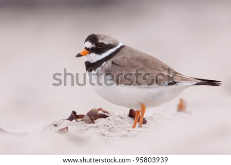 A close-up of a ringed plover - stock photo