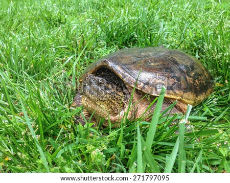 A close up of a snapping turtle resting in long grass - stock photo