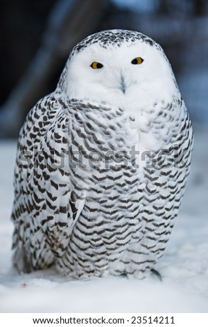A close up of a snowy owl - stock photo