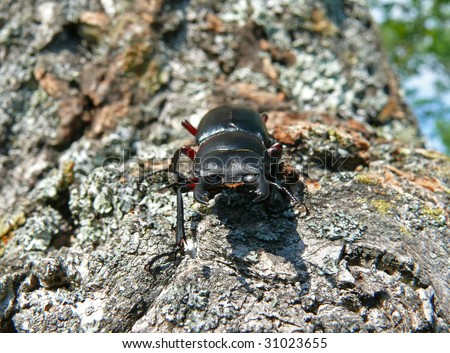 A close up of a stag-beetle on tree.