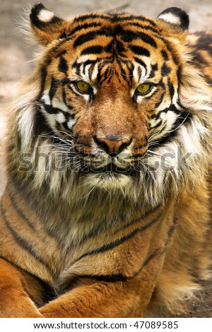 A close-up of a Sumatran tiger (panthera tigris sumatrae). - stock photo