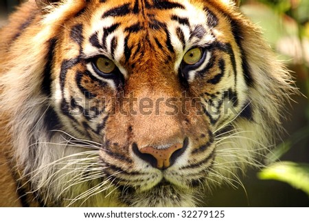 A close-up of a Sumatran tiger (Panthera tigris sumatrae) face - stock photo