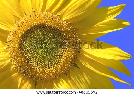 A close up of a sunflower bloom against clear blue sky - stock photo