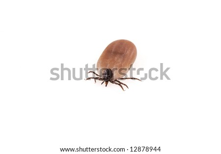 A close up of a tick on a white background.