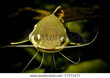 a close up of a tropical catfish - stock photo
