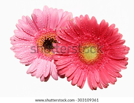 A close up of a two Gerber Daisies. - stock photo
