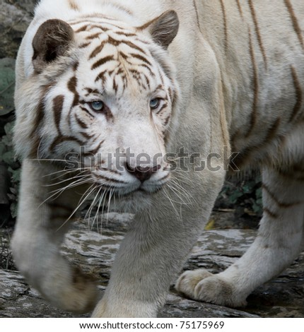 A close up of a white bengal tiger stalking its prey