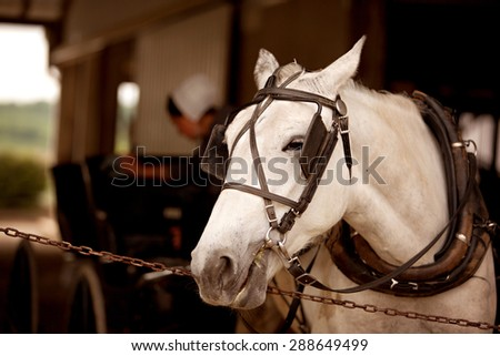 A close up of a white horse hitched to a buggy with a blurred Amish woman working in  the background.   - stock photo