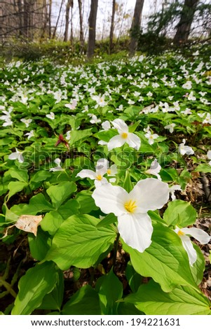 A close up of a White Trillium in the foreground amidst a bed of hundreds of trilliums.  Trillium grandiflorum is the official emblem of the Province of Ontario and the State Wildflower of Ohio.  - stock photo
