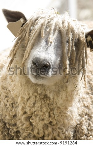 A close up of a woolly sheep's face - stock photo