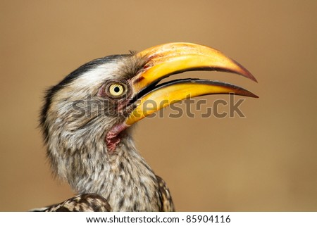 A close up of a yellow-billed hornbill with its beak open - stock photo