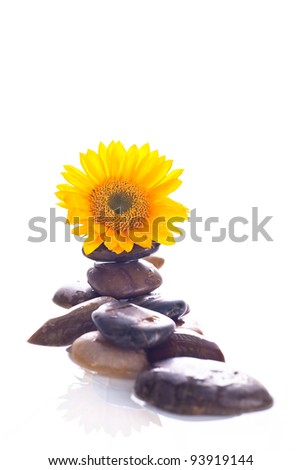 A close up of a yellow sunflower sitting on a group of rocks in water with a white background. - stock photo
