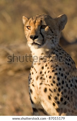 A close up of a young cheetah in golden light - stock photo