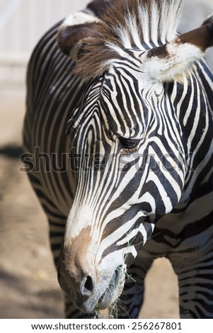 A close-up of a zebra head with eyes and mane - stock photo