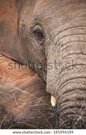 A close-up of African elephant resting its trunk on another