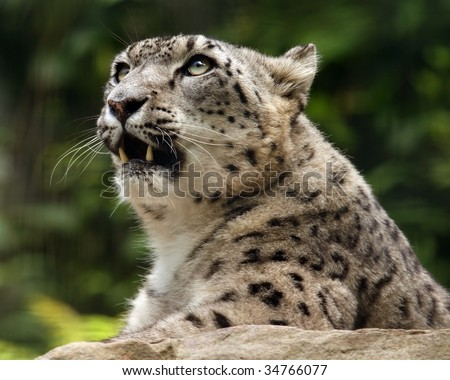 A close-up of an adult female snow leopard (uncia uncia) looking up. - stock photo