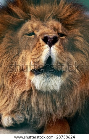 A close-up of an adult male lion (Panthera leo) roaring