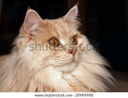 A close-up of an adult male Manx (Felis catus anura) staring off into the distance