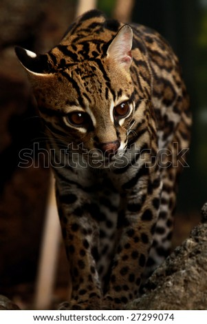 A close-up of an adult male Ocelot (Leopardus pardalis)