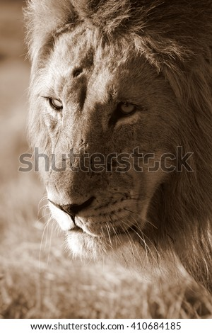 A close up of an African male lion in sepia tone. Taken in South Africa - stock photo