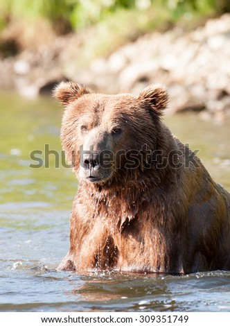 A close up of an Alaskan brown bear as he's wading through a river in search of salmon