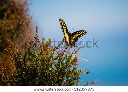 A close-up of an anise swallowtail butterfly sitting on a plant - stock photo