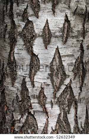 A close-up of an birch tree's bark - stock photo