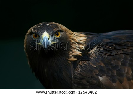 a close up of an eagle's head - stock photo