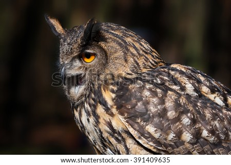 A Close up of an Eurasian Eagle Owl with Open Beak - stock photo