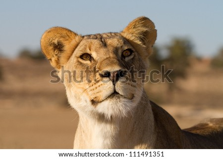 A close up of an inquisitive young lioness's face - stock photo
